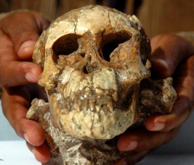 Skull of Australopithecus afarensis